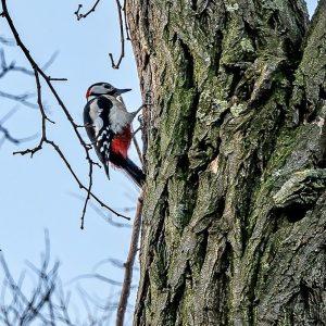 Den habe ich heute Morgen im Prater beim spazieren getroffen....klopfte 2m von mir entfernt in einen Baum.......