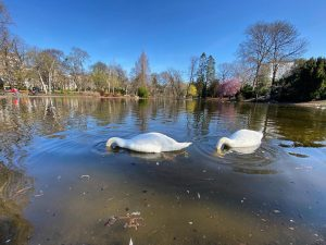 And the swans stayed home. And read books