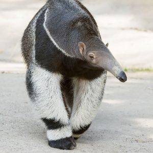 Mit einem Bild von Morgenmuffel Silva 😴 starten wir in den April. ✌ Wusstet ihr, dass Ameisenbären...