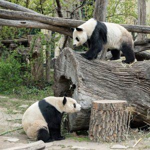 Mit großer Spannung 🧐 haben wir die Paarungszeit bei den Großen Pandas erwartet. 🐼 Yang Yang und...