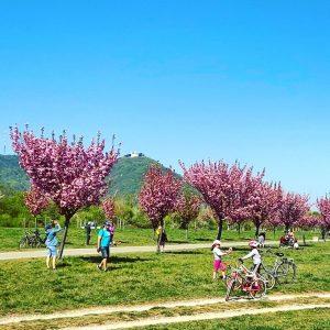 Im Kirschenhain. #donauinsel #leopoldsberg #kirsche #cherry #blüte #blossoms #allesblüht #flowers #flowerpower #hain #trees ...