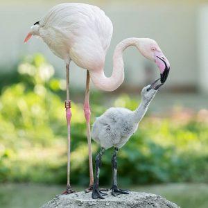So flauschig! 💕 Wir freuen uns über 12 Küken bei den Rosa Flamingos! 🦩 Noch sind die...