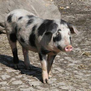 Es wird schweinisch.🐷 Voraussichtlich im Juli werden Turopolje-Schweinebei unseinziehen. 💕 Wir haben die Haltung der Poitou-Esel aufgegeben....