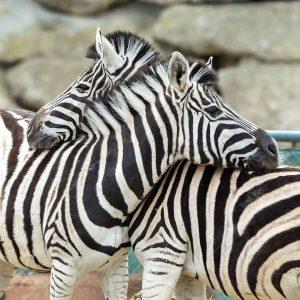 Während die Zebrastreifen im Straßenverkehr alle gleich aussehen, hat jedes Zebra 🦓 eine individuelle Zeichnung. 😍 Die...