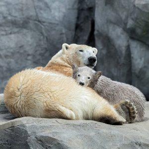 Wir wünschen allen Müttern einen schönen Muttertag. ❤ Für Eisbärin Nora istes der erste Muttertag. Finja ist...