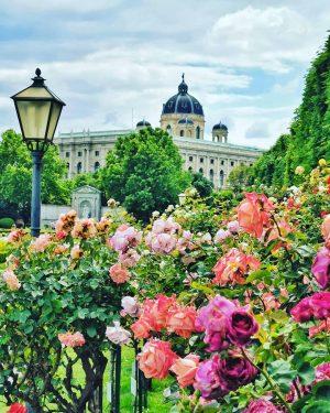 Die Rosenstöcke im Volksgarten blühen in voller Pracht😍 Schönen Abend ihr lieben🇦🇹🌹🌹🌹 . . #vienna #vienna_go #vienna_austria...