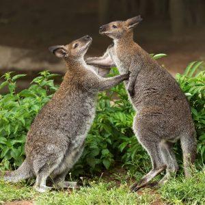 Bei uns im Tiergarten 🦘 leben fünf Bennettkängurus. 😍 Sie werden etwa einen Meter groß und haben...