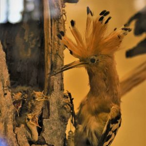 So excited about a new project to help the hoopoe in Austria / ...