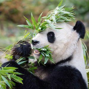 Hier kommt Panda-Content! 🐼 Yang Yang lässt sich den Bambus so richtig schmecken. 😋 Da Bambus nährstoffarm...