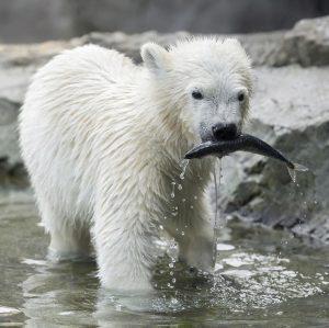 Unser Eisbären-Mädchen hat wieder etwas Neues gelernt. Finja kann Fische 🐟, die ihr die Tierpfleger ins Becken...