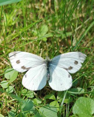 🤓❤️ #falter #blumenwiese #blossom #Schmetterling #sonnenlicht #frühling #wien #vienna #love #sunlight #austria #österreich #green #garden #park #nature...