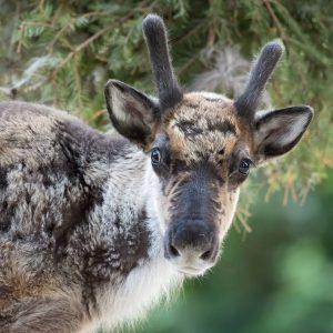 Dieser Blick! 😍 #cutenessoverload 📌 Update: Die beiden Rentier-Jungtiere 🦌 Snorre und Sippo fressen schon fleißig mit...