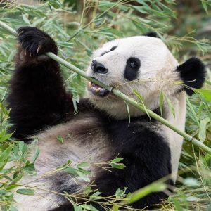 Mehr als die Hälfte des Tages verbringen erwachsene Pandas mit Fressen. 😋 Bambus ...