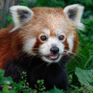 Wir zeigen dem Montag die Zunge! 😜 Rote Pandas dösen den Großteil des Tages im Geäst. 😴...