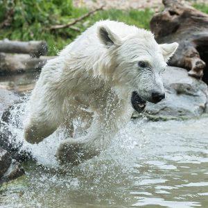 Wenn unser Eisbären-Mädchen Finja nicht gerade schläft 😴 oder mit Mama Nora kuschelt ...