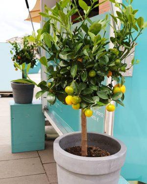Dürfen wir vorstellen - unsere Orangenbäumchen