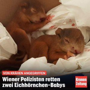 Zwei Polizisten haben am Dienstag in Wien-Hietzing zwei Eichhörnchen-Babys gerettet. Die Beamten kamen den Tieren zu Hilfe,...