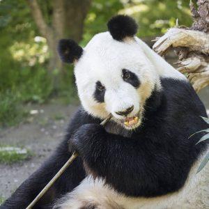 Panda-Männchen Yuan Yuan 🐼 wird heute 21 Jahre alt. Happy Birthday! 🎉 Gefeiert ...