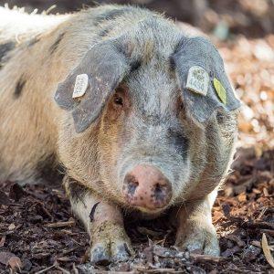 Wir wünschen einen SAUstarken 🐷 Montag! Unsere Turopolje-Schweine Aurelia und Luise haben sich ...