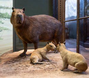 🌎 AROUND THE WORLD AT NHM WIEN 🌎 The capybara (Hydrochaeris hydrochaeris) is the largest rodent of...