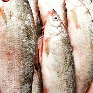 Reinanken. Perfektion. So pur so simpel. #reinanken #felchen #maränen #coregonen #wildfang #süsswasserfisch #qualität Fisch Gruber