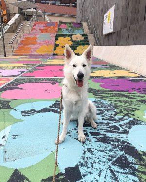 rocking the mq #ellamaus#ellaparallella#ellapropella#ellacinderella#whiteshepherd#witheswissshepherd#weisserschweizerschäferhund#weisserschäferhund#viennadogs#dogsofvienna#doglove#dogsofinstagram#love#doglife#dogs#vienna#wien#puffy#myprecious#whiteswissgram#albertina#wienliebe#treamteam#betterhalf#spiritanimal MQ – MuseumsQuartier Wien