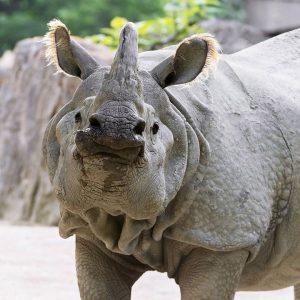 Heute ist Welt-Nashorn-Tag!🦏 Seit 2006 leben bei uns die Panzernashörner Sundari und Jange. ...