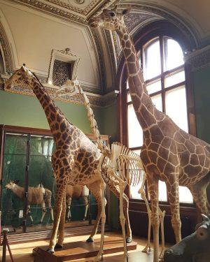 Giraffes #giraffes #giraffe #animal #museum #natural #history #vienna #sightseeing #instatraveling #жираф #жирафи #животно ...