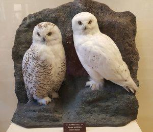 Snow owl #snow #owl #bird #museum #natural #history #sightseeing #vienna #instatraveling #снежна #сова ...
