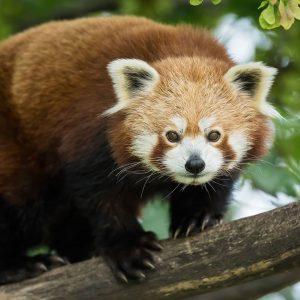 Rote Pandas sind nicht faul. ☝ Sie müssen Energie sparen💤, weil ihre Hauptnahrung ...