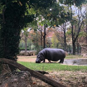 Ein Hippo 🦛 am Morgen ... #happymonday #mondaymotivation #happyhippo #flusspferd #tiergarten #schönbrunn #autumn ...