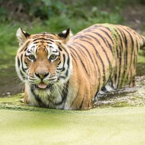 Der Sibirische Tiger 🐅 ist die größte Katze der Welt. Aus dem Stand ...