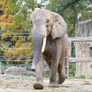 Update 🐘 aus dem Zoo Dvůr Králové: Unser Tierpfleger Ramon hat Drumbo nun ...