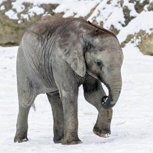 """""""Babyelefant"""" ist das österreichische Wort des Jahres 2020. 🐘 Unsere Kibali ist der perfekte Abstandhalter: im Frühjahr..."""