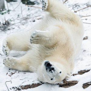 Da hat aber jemand gute Laune! 😀 Ob das am ersten Schnee liegt? ☃️ Eisbären-Mädchen Finja ist...