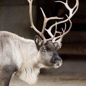 Dieser Blick! 😄 Noch einmal schlafen, dann ist Weihnachten! 🎄 Unsere Rentiere können es kaum erwarten. 🦌❣...