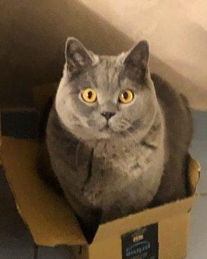 #britischkurzhaar #britishshorthair #catsofinstagram #bkh #catstagram #instacat #bsh #katze #cat #catoftheday #instagood #love #catlover #cats_of_instagram #katzenliebe #instacat #catlovers...