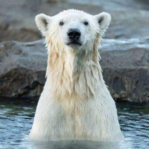 #zuckerschock ❤ Seid ihrschon Herzenspaten unseres Eisbären-Mädchens Finja? 🐾 Eine süße Urkunde 📜 ist mit dabei und...