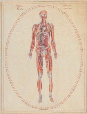 """Betitelt mit """"Statua Nervosa. Veduta anteriore."""" zeigt die kolorierte Zeichnungen den weiblichen Körper. Bei dieser Darstellung wird..."""