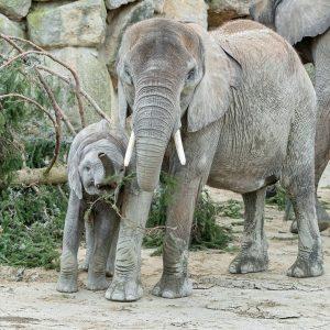 Das schmeckt! 😋 Für unsere sechsköpfige Elefantenherde gab es heute einen besonderen Snack 🌲: die 18 Meter...