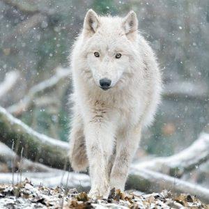 Herzlich Willkommen, Geri & Freki! 🐺 Die beiden Arktischen Wölfe aus dem Safaripark Monde Sauvage sind am...
