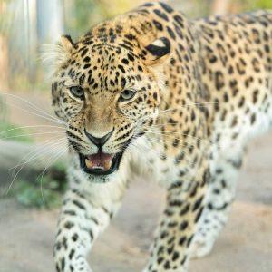 Unsere Amurleoparden 🐆 sind schon putzmunter! 👀 Charakteristisch für diese Großkatzen sind die großen, dick umrandeten und...