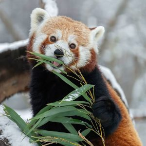 Unsere Roten Pandas 😍 kommen mit den frostigen Temperaturen ❄ prima zurecht. Sie sind ganzjährig im Freien,...