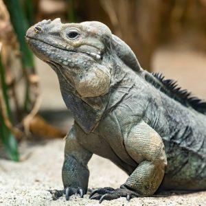 Ab ins Wochenende! 🙌 Macht es wie unser Nashornleguan: Chill mode 🔛! Schon gewusst? Diese karibische Leguanart...