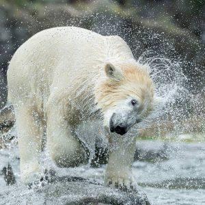 Gute Laune ist ansteckend! 🤩 Wem wollt ihr mit diesem Bild unseres Eisbären-Mädchens ...
