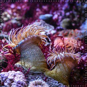 Die Seeanemone kann bis zu 8 cm groß werden. Treffen sich zwei genetisch fremde Kolonien führen sie...