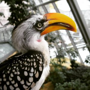 Toko der Nashornvogel im Haus des Meeres. #toko #nashornvogel #bucerotidae #hausdesmeeres #hausdesmeereswien #vogelfotografie #beautybird #zoofotografie #beautifulanimals #vogelfoto...