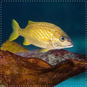 Seinen Namen hat dieser Fisch nicht ohne Grund! Grunzer können mit ihren Schlundzähnen grunzende Laute erzeugen. Ausgewachsene...