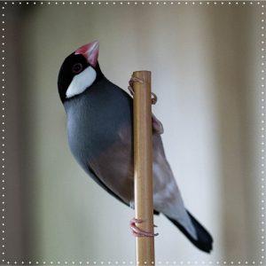 Bei den Reisfinken sind Männchen und Weibchen gleich gefärbt, sie sind in Indonesien heimisch und ernähren sich...