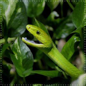 Diese Woche zeigen wir euch ein paar Schlangen: Die grüne Mamba kann bis zu zwei Meter lang...